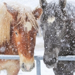 Christmas Cards: Horses in Snow (x6)